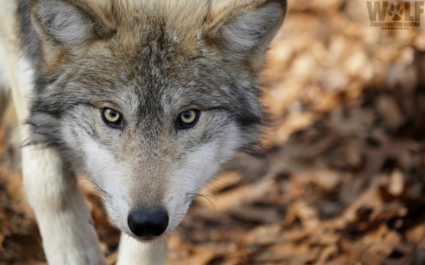 URGENT – Feds Seek To Remove Some Endangered Mexican Gray Wolves from the Wild