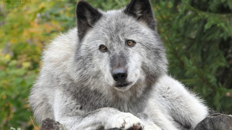 Expert Testimonials Question Alberta's Use of Strychnine in Wolf Kill Program