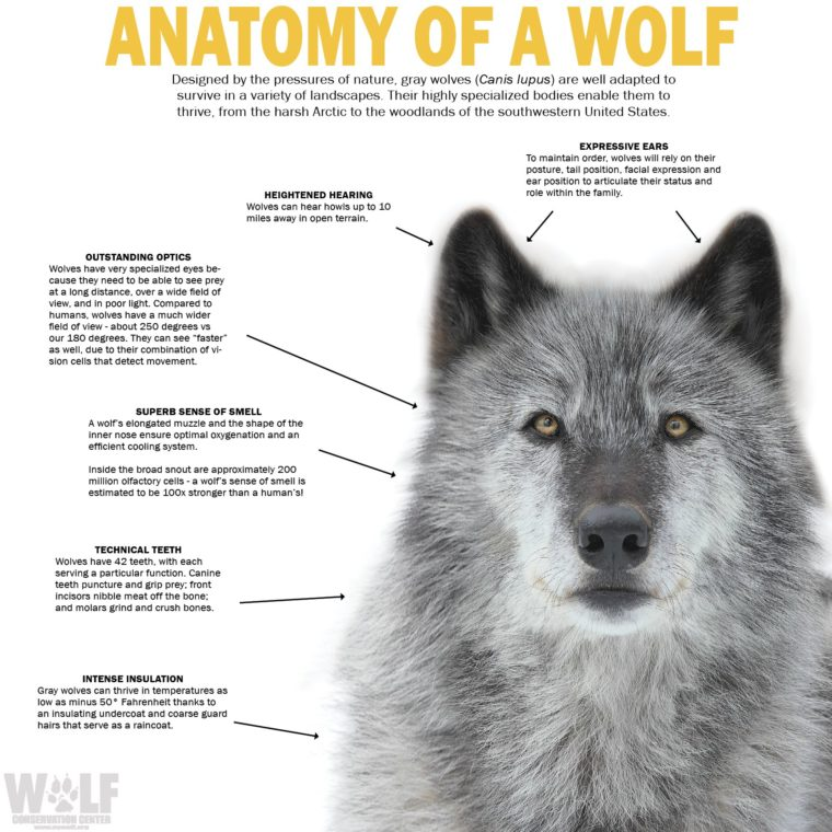 Wolf Superpowers