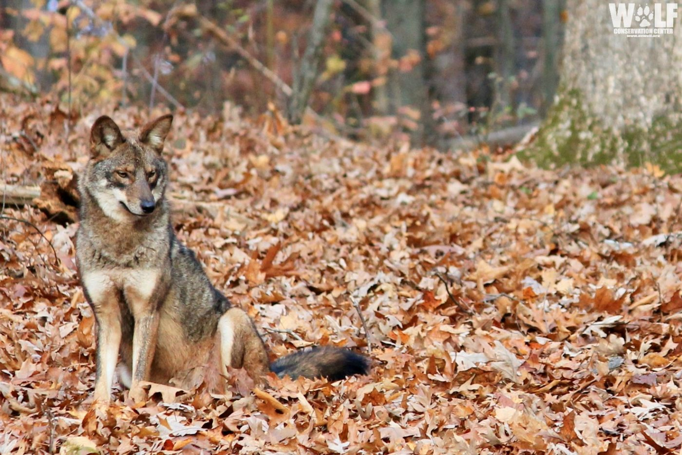 Ban Coyote Killing Contests in New York State