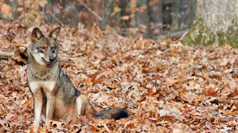 Expert to Offer Free Webinar about Eastern Coyotes