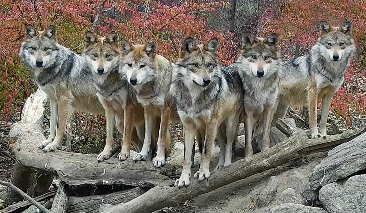 The Wolf Conservation Centers 2012 Calendar Has Arrived