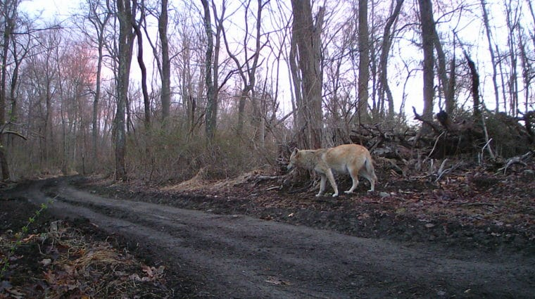 Sighting of Coyote Family Brings Joy and Excitement