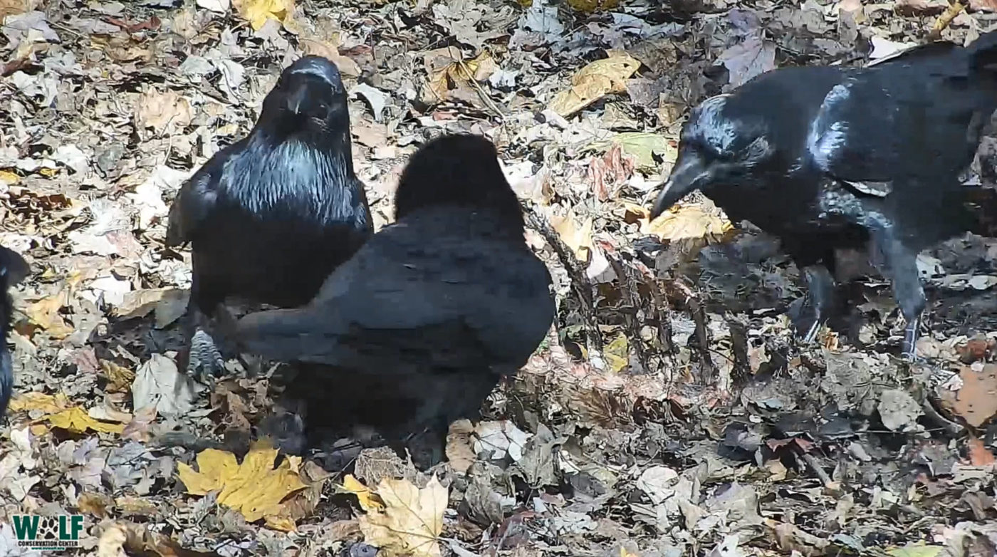 It's a Dinner Party for Ravens and Wolves!