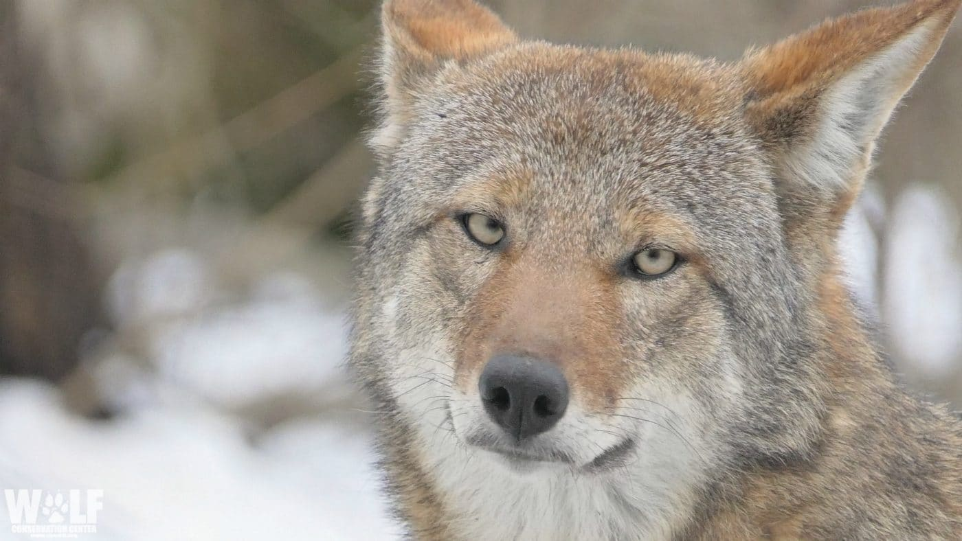 Conserving Wolves through Education, Recovery, and Advocacy