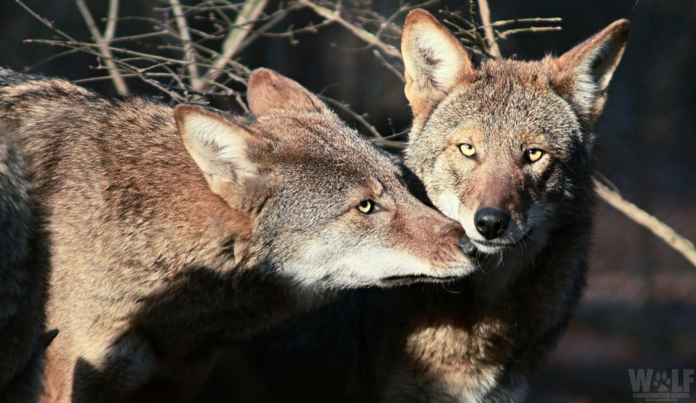 U.S. Fish and Wildlife Service Announces Transfer of Red Wolves to Recovery Area in North Carolina