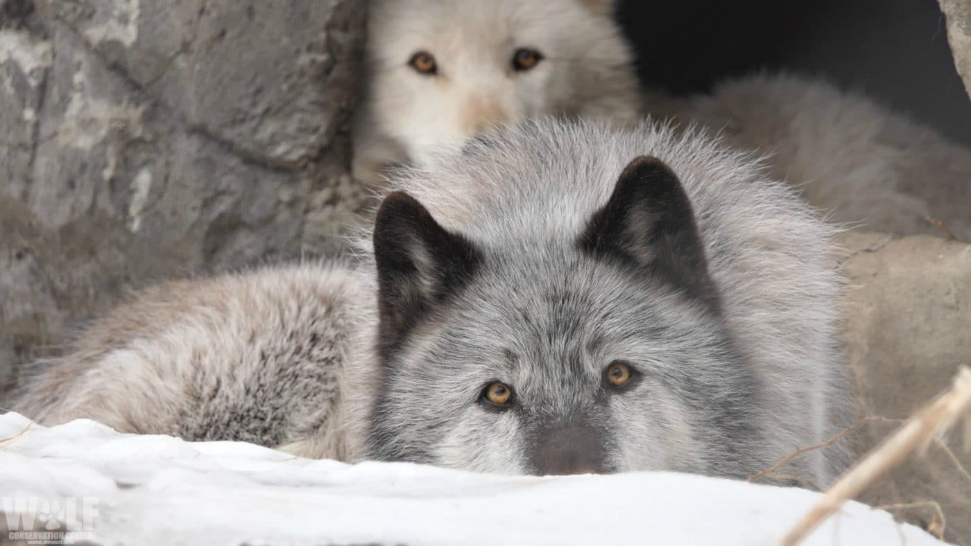 Blind Betrayal: BC Government Uses Collared Wolves to Kill Entire Wolf Families