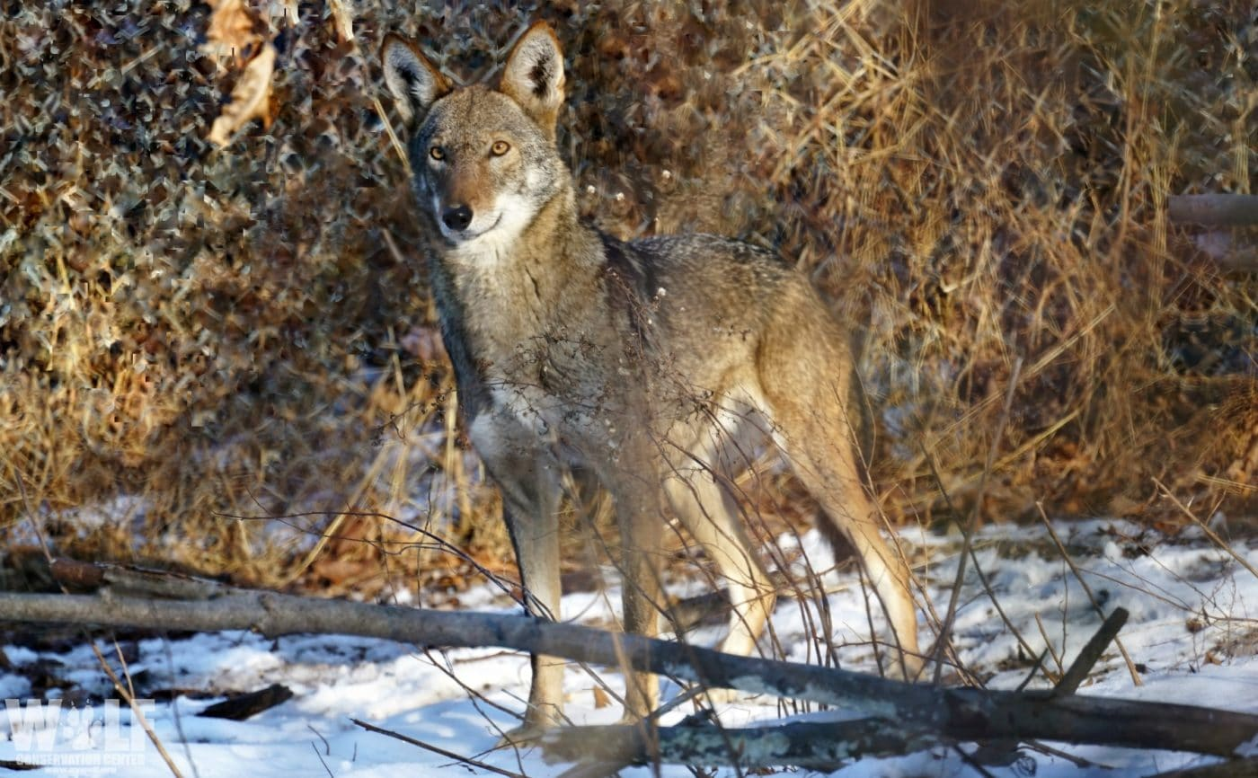 Wolf Conservation Center Welcomes New Red Wolf to the Pack!