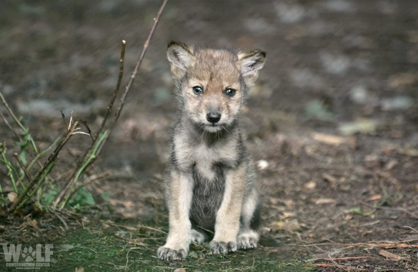 Contest for Kids – Name a Mexican Gray Wolf Pup!
