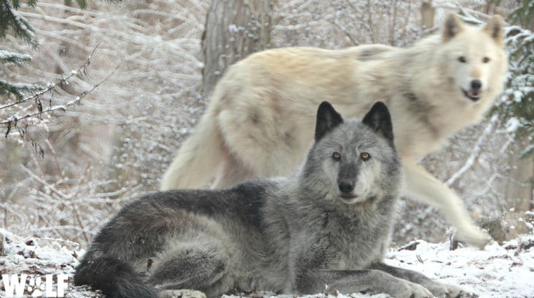 The Colorado Wild is Calling, and Wolves are Heeding the Call