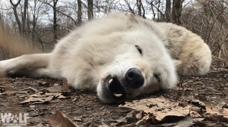 World's Laziest Wolf Won't Bother to Get Up to Howl. Learn Why.