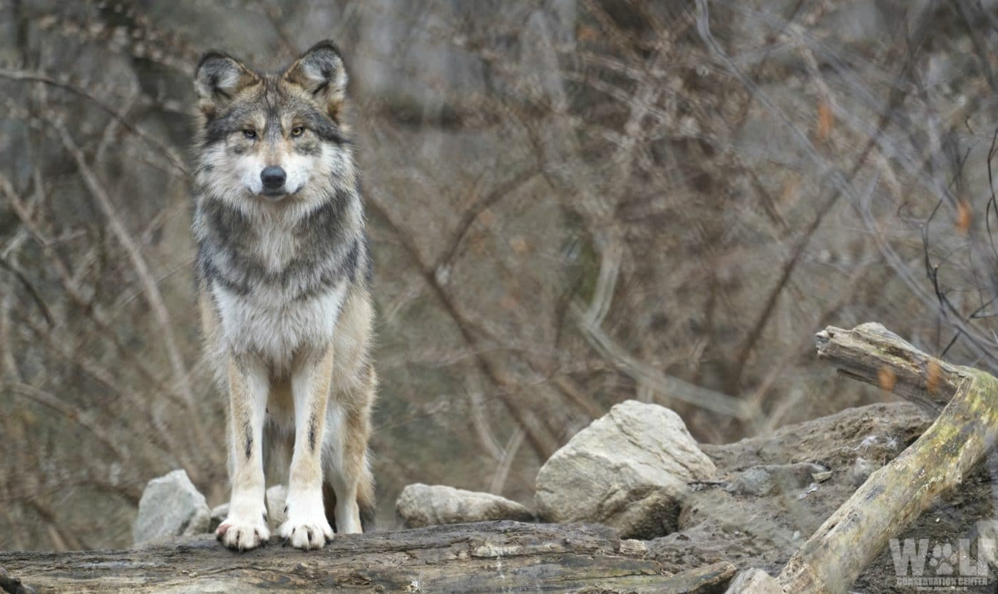 New Mexico Approves Trapping of State Wildlife, Further Endangering Mexican Gray Wolves