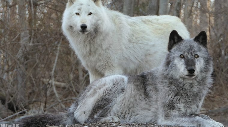 A Wild Anniversary: 25 Years For Yellowstone Wolves