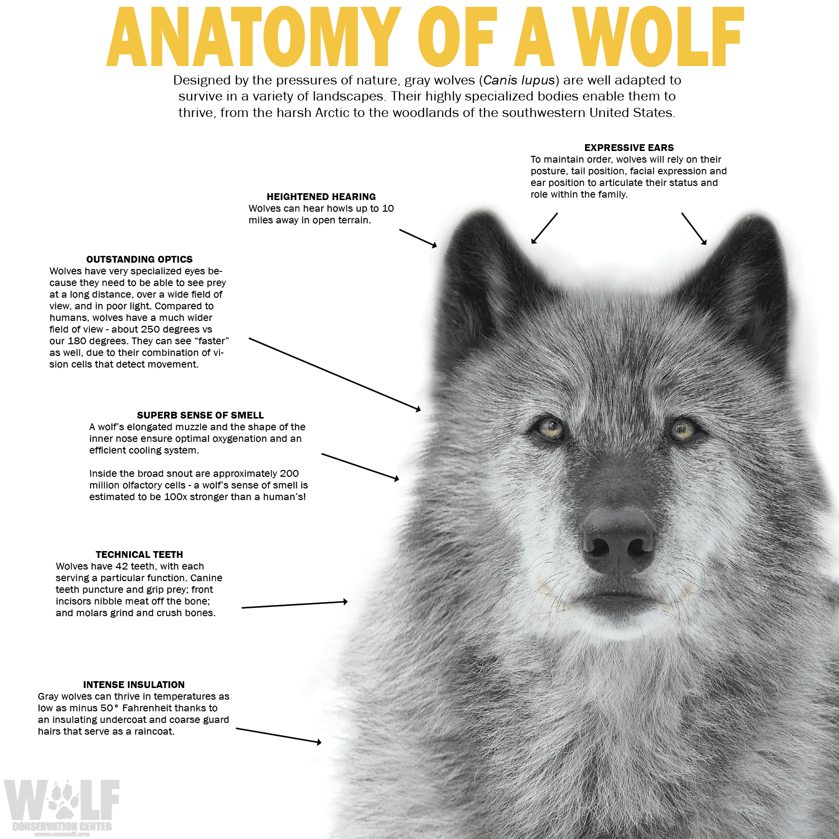Wolf Adaptations