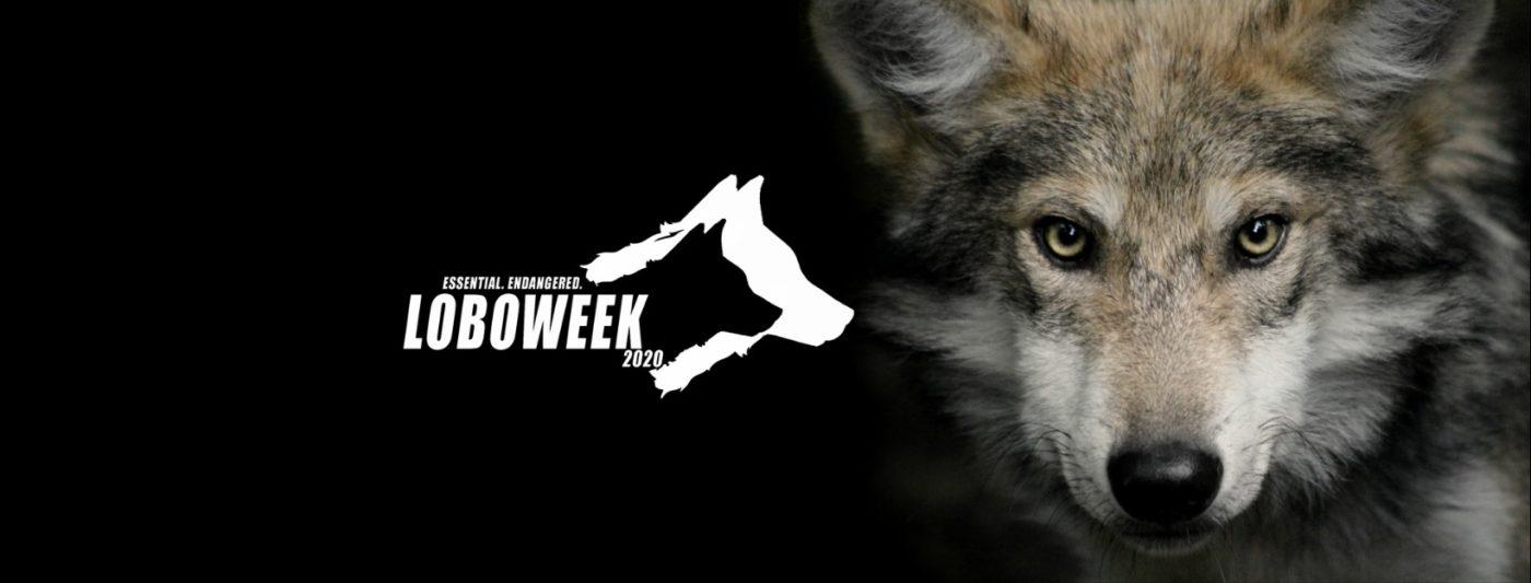 LoboWeek – Celebrating the Mexican Gray Wolf's Wild Milestone
