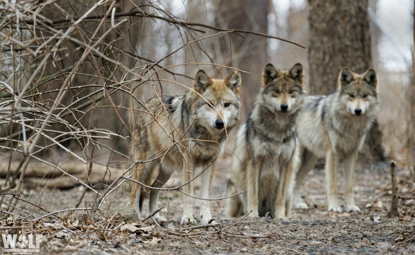 Three Endangered Mexican Gray Wolves Found Dead in Arizona