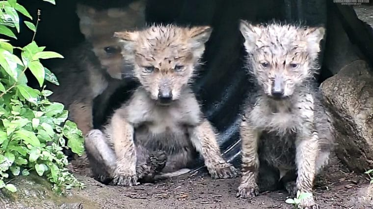 Mexican Gray Wolf Pups: Wet, Wild, and Wonderfully Adorable!