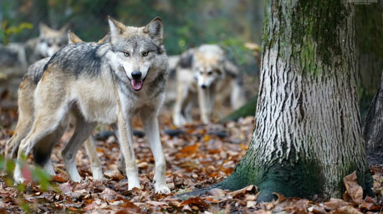 We Have A Lot To Learn From Wolves