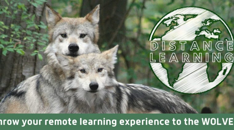 Wolf Conservation Center Offering Free Distance Learning Programs to Schools Nationwide