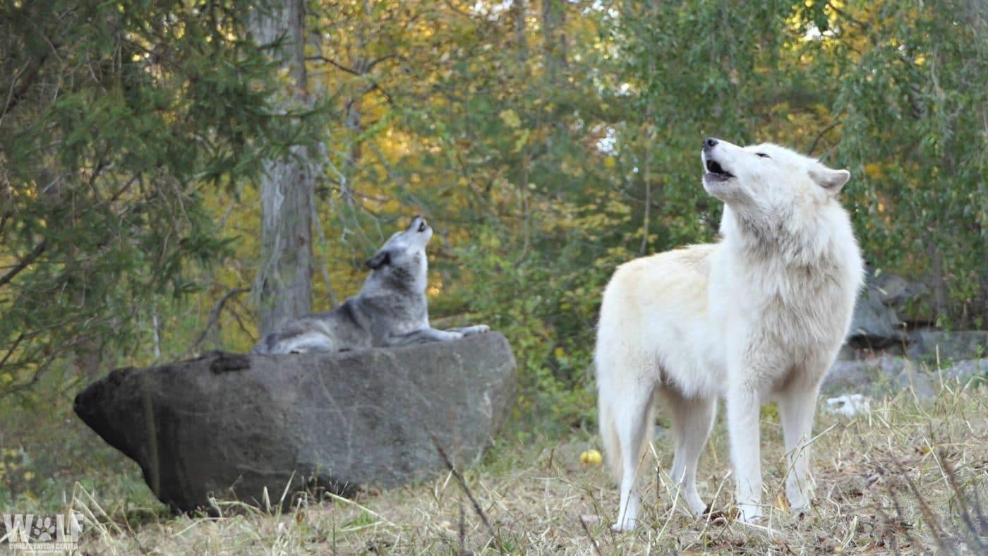 Trying to Maintain Strong Bonds from a Distance? Learn from Wolves.