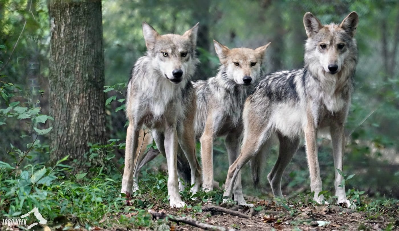 Wild Anniversary for the Critically Endangered Mexican Gray Wolf