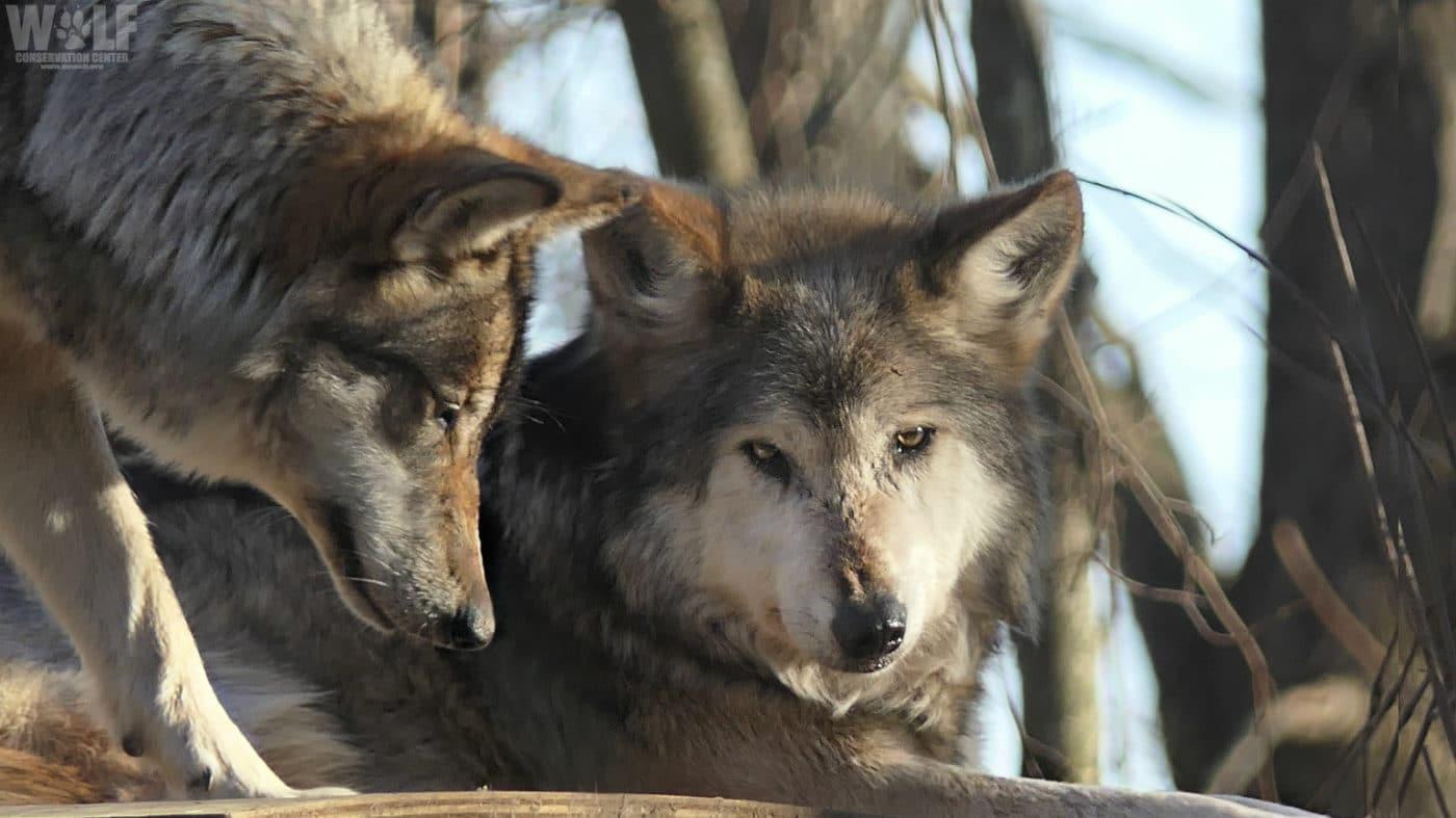Mexican Gray Wolf Valentia Celebrates Her Birthday