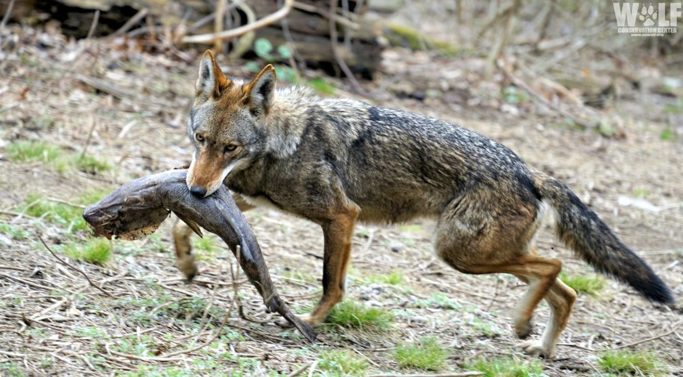 Generous Donation Provides Food for Endangered Wolves