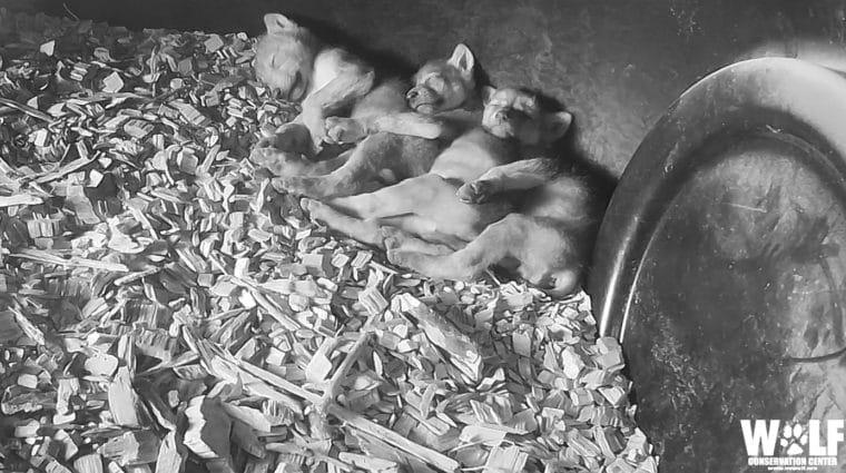 Wild Den: A Wolf Pup's First Home