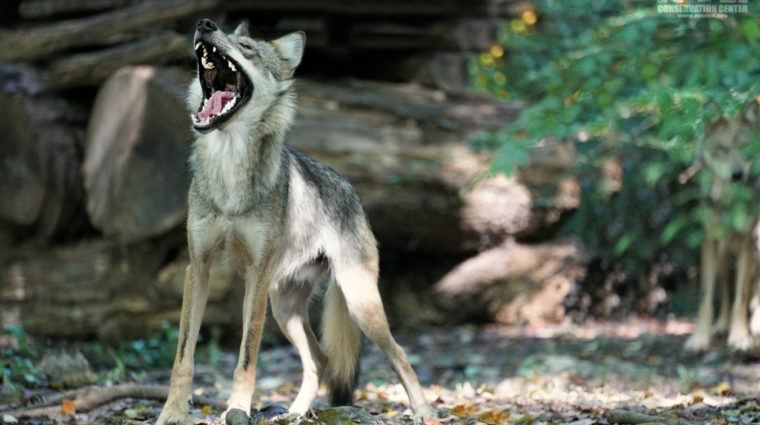 Two-Part Webinar Series to Help You Speak up for Lobos
