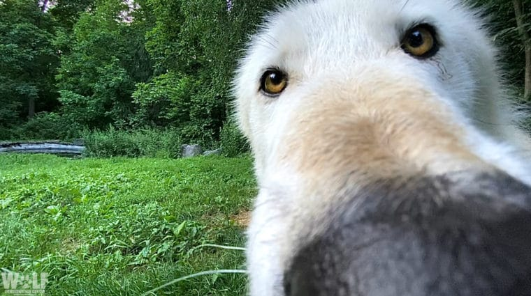 "Virtual Field Trips Allow Students to ""Meet"" Wolves Through Computer Screens!"
