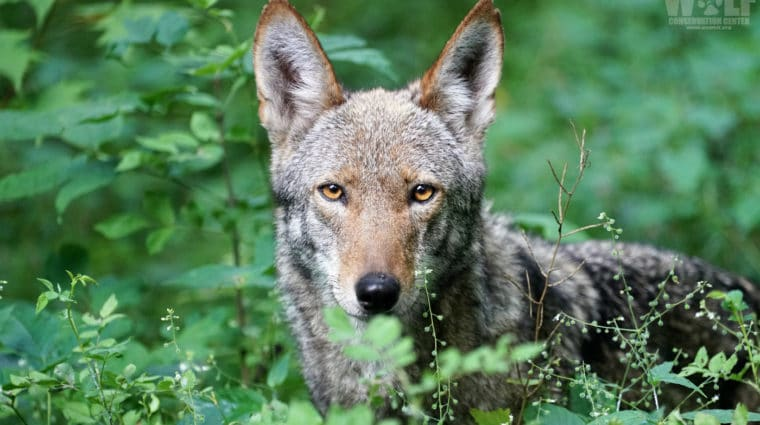 Red Wolf Recovery Milestone – 33 Years Wild