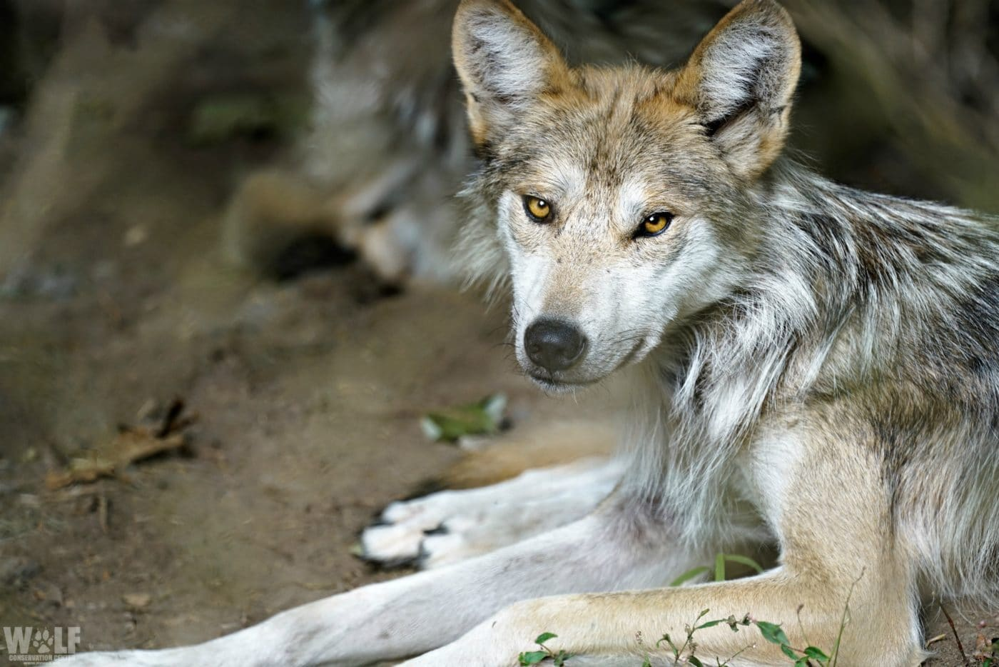 Endangered Captive-Born Mexican Gray Wolf Found Dead in Arizona