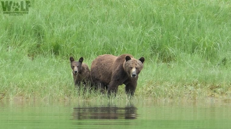 Trump Administration Seeks to Allow Baited Brown Bear-Hunting in Kenai National Wildlife Refuge