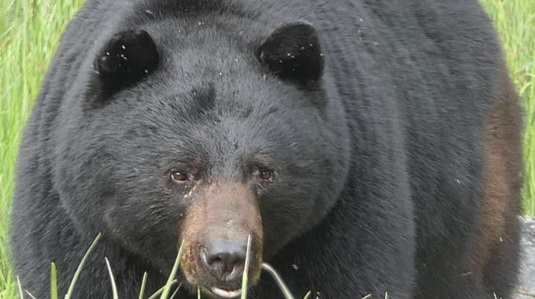 """Spare the Bears"" Online Zoom Rally Today at Noon"