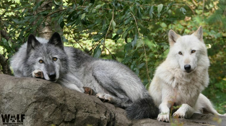 Pair of Wolves Turn Lazy Howling into an Art Form