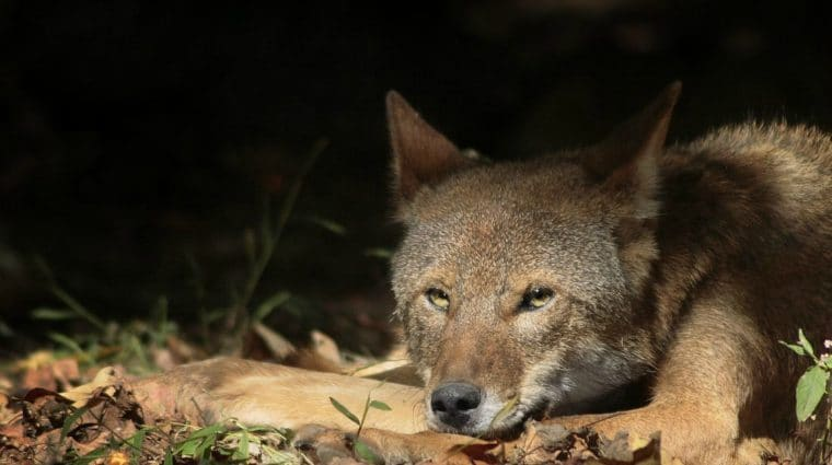 Critically Endangered Red Wolf Illegally Killed in August; Only 7 Known to Remain in Wild