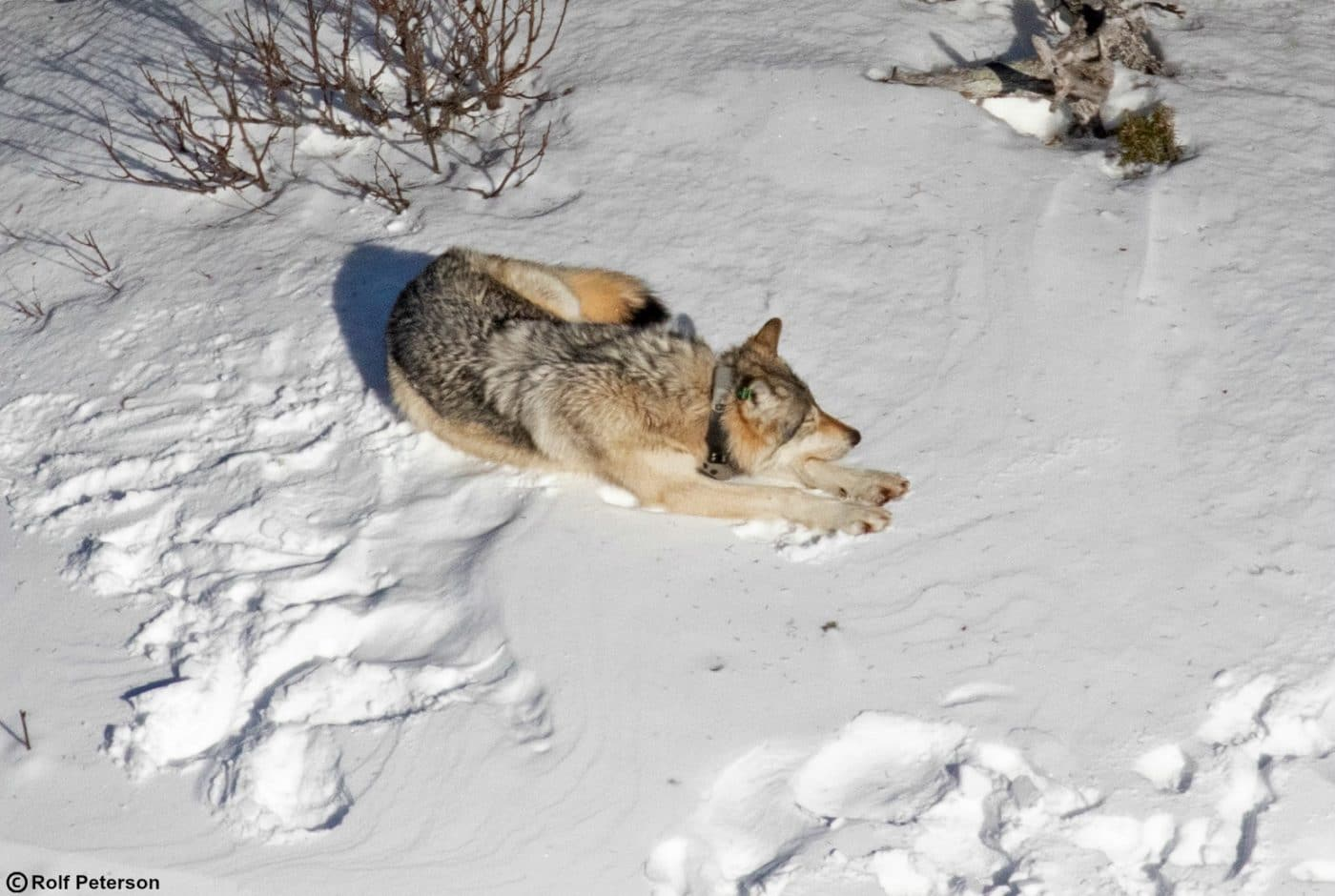 Free Webinar: Wolf Restoration in Isle Royale National Park