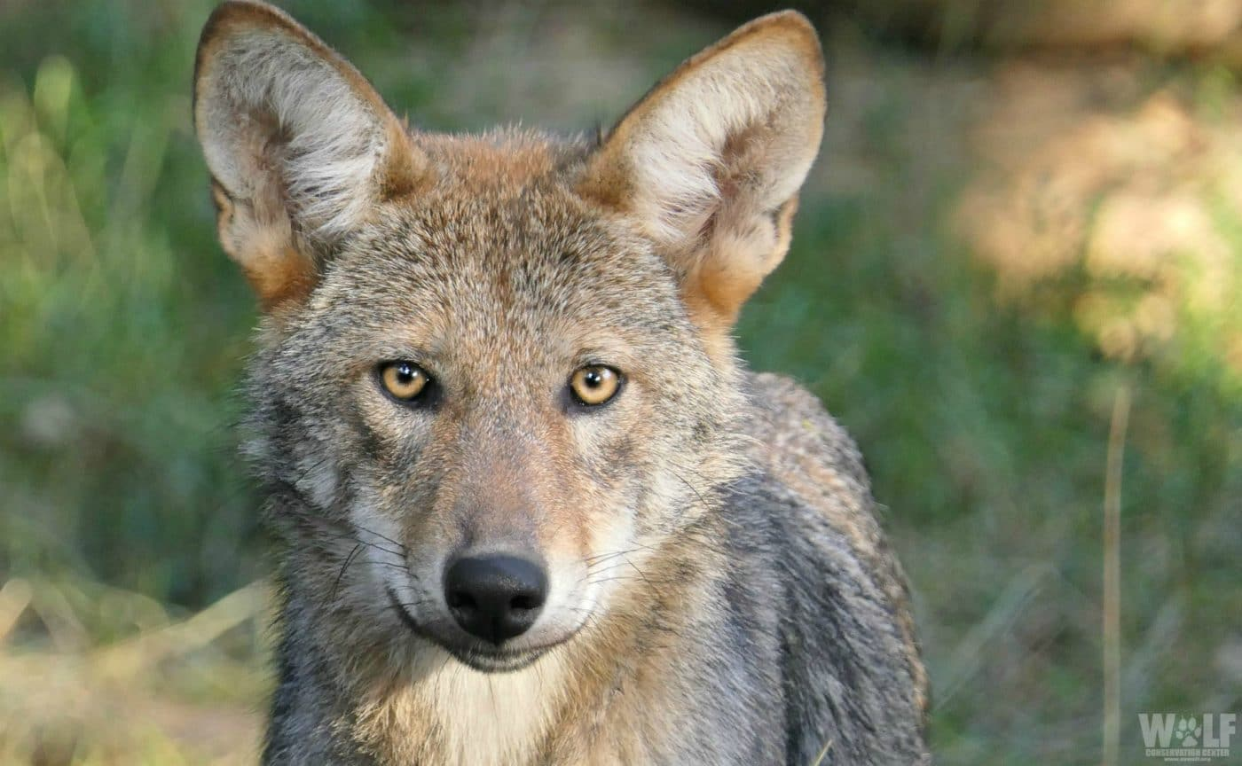 Wolf Conservation Center Partners with Pilots to the Rescue to Save Red Wolves