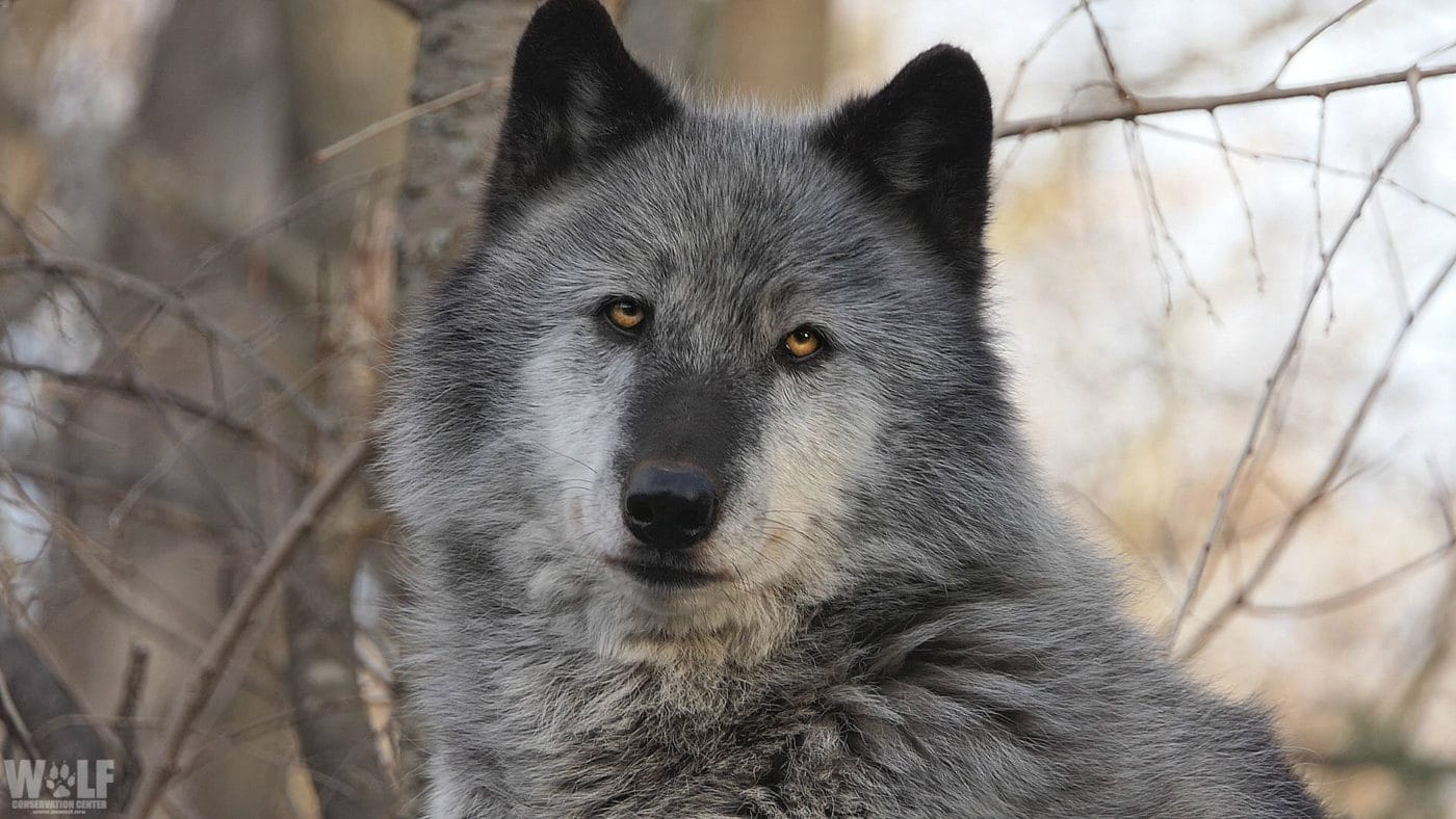 Podcast: Gray Wolf Delisting Flaws, Explained by Experts