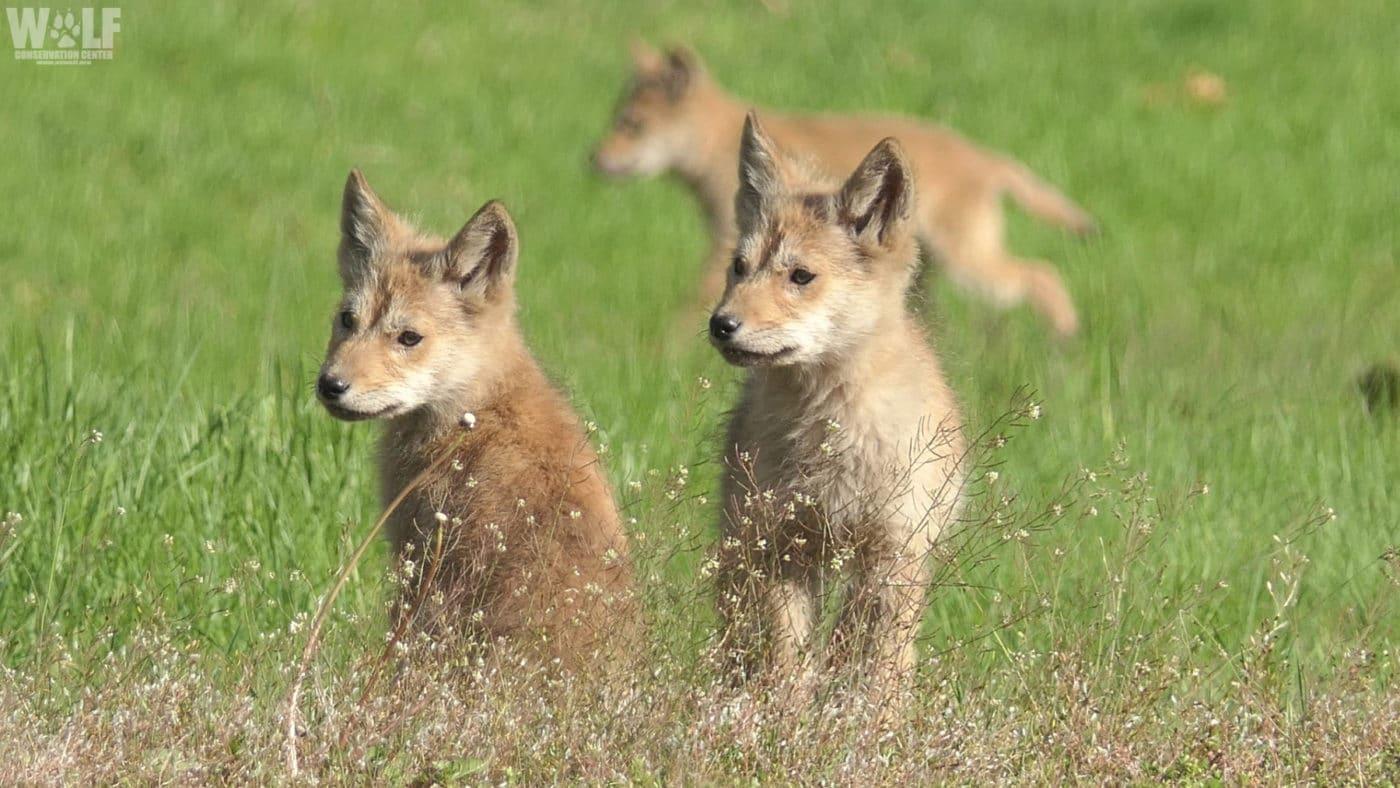 Coyote Trio Edit Twitter