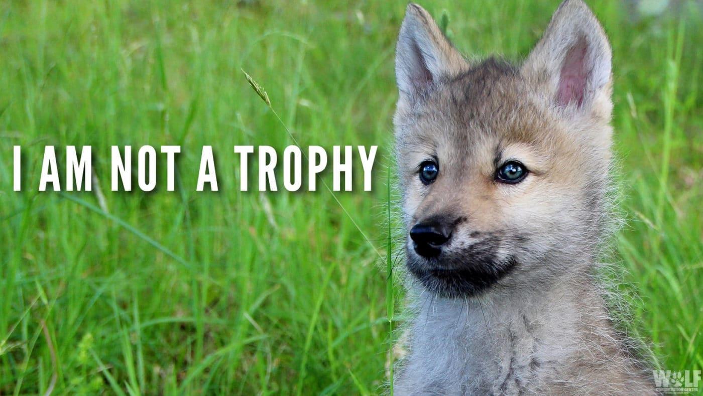 Nikai Pup Trophy Stare Wide Edit Bright