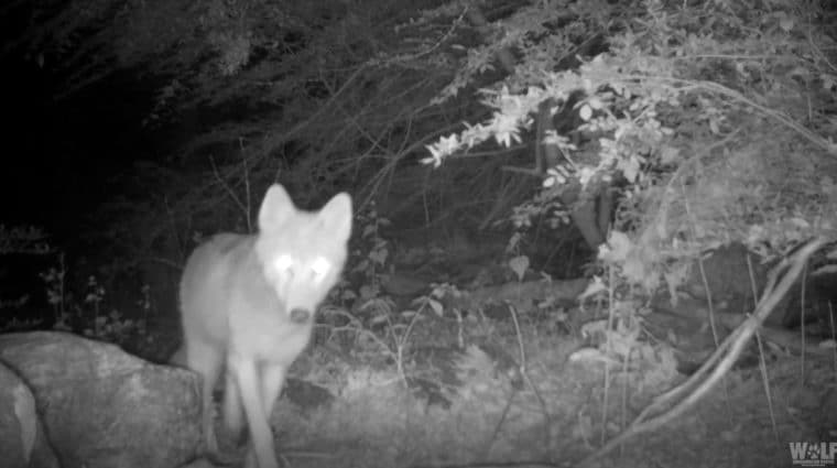 Trailcam 2021 Coyote Edit