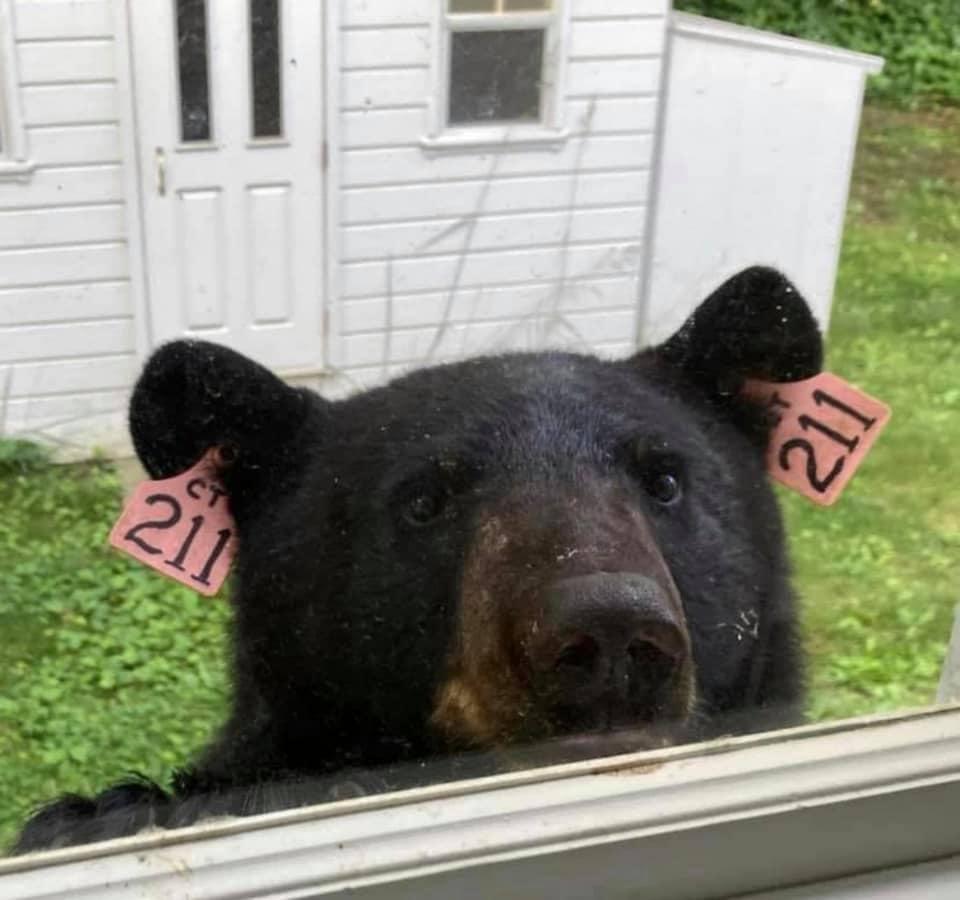Bear 211. Credit: Facebook