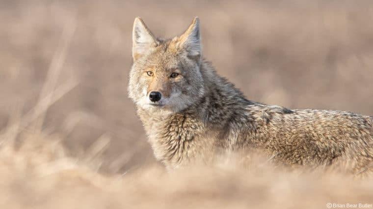 Coyote 1 7 Butler Wide Credit